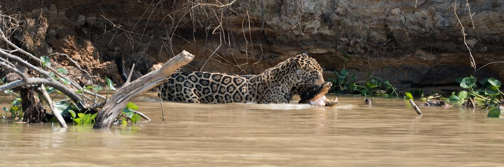 Jaguar carrying yacare caiman through muddy river