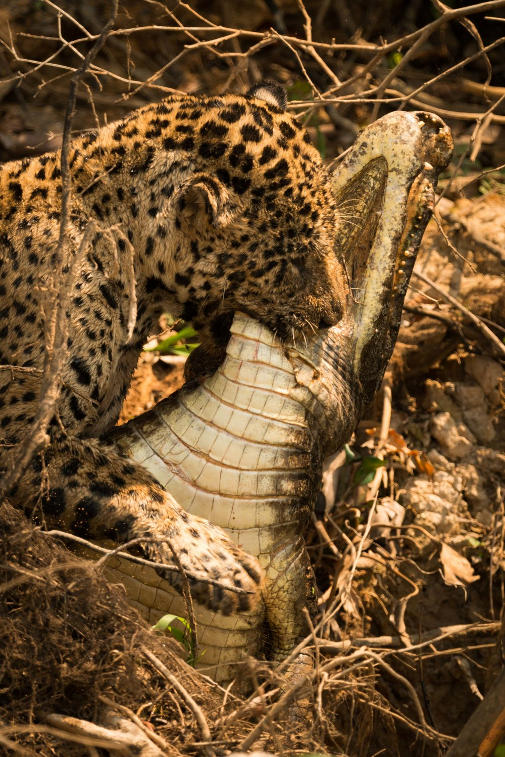 Jaguar dragging dead yacare caiman through branches