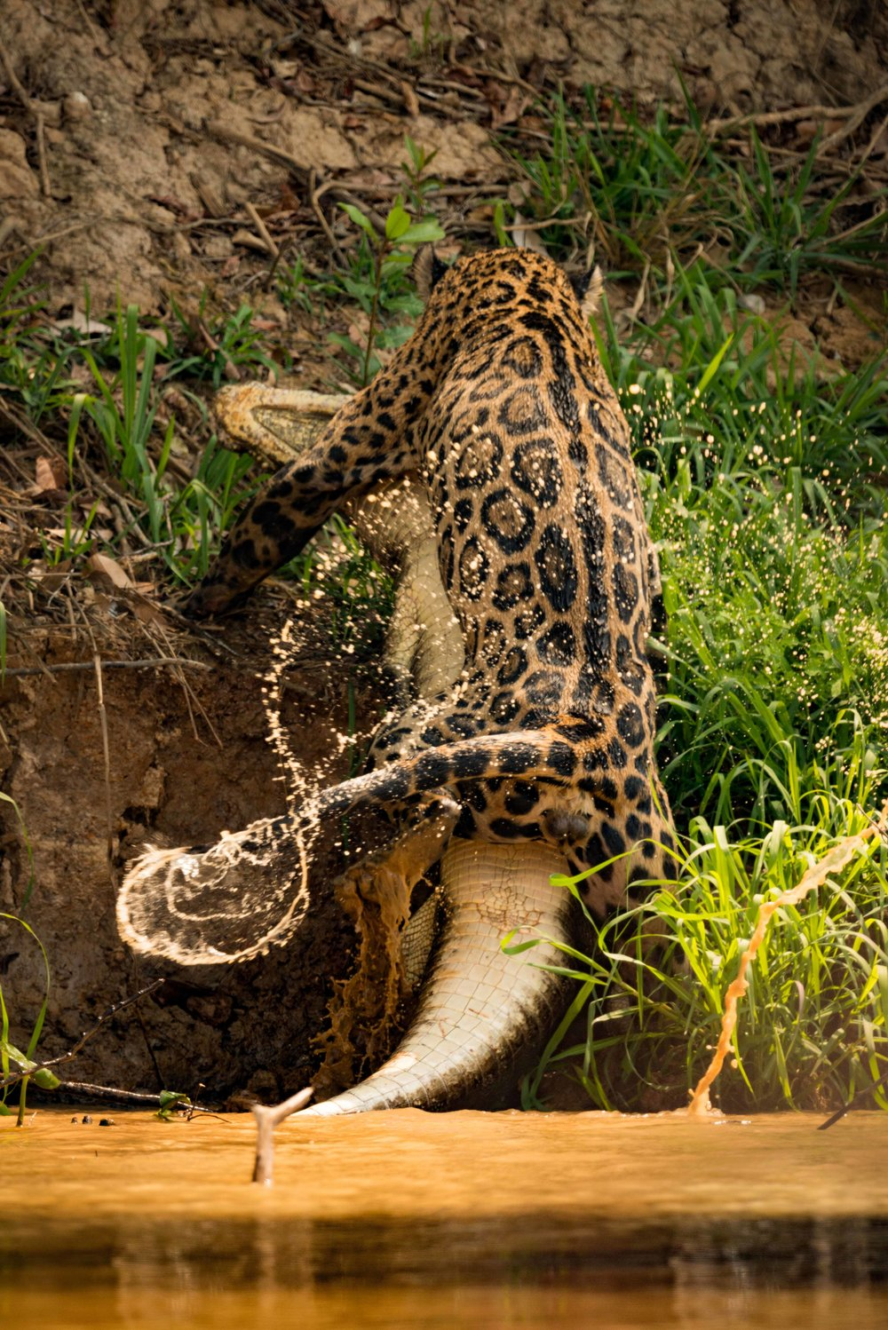 Jaguar dragging yacare caiman along river bank