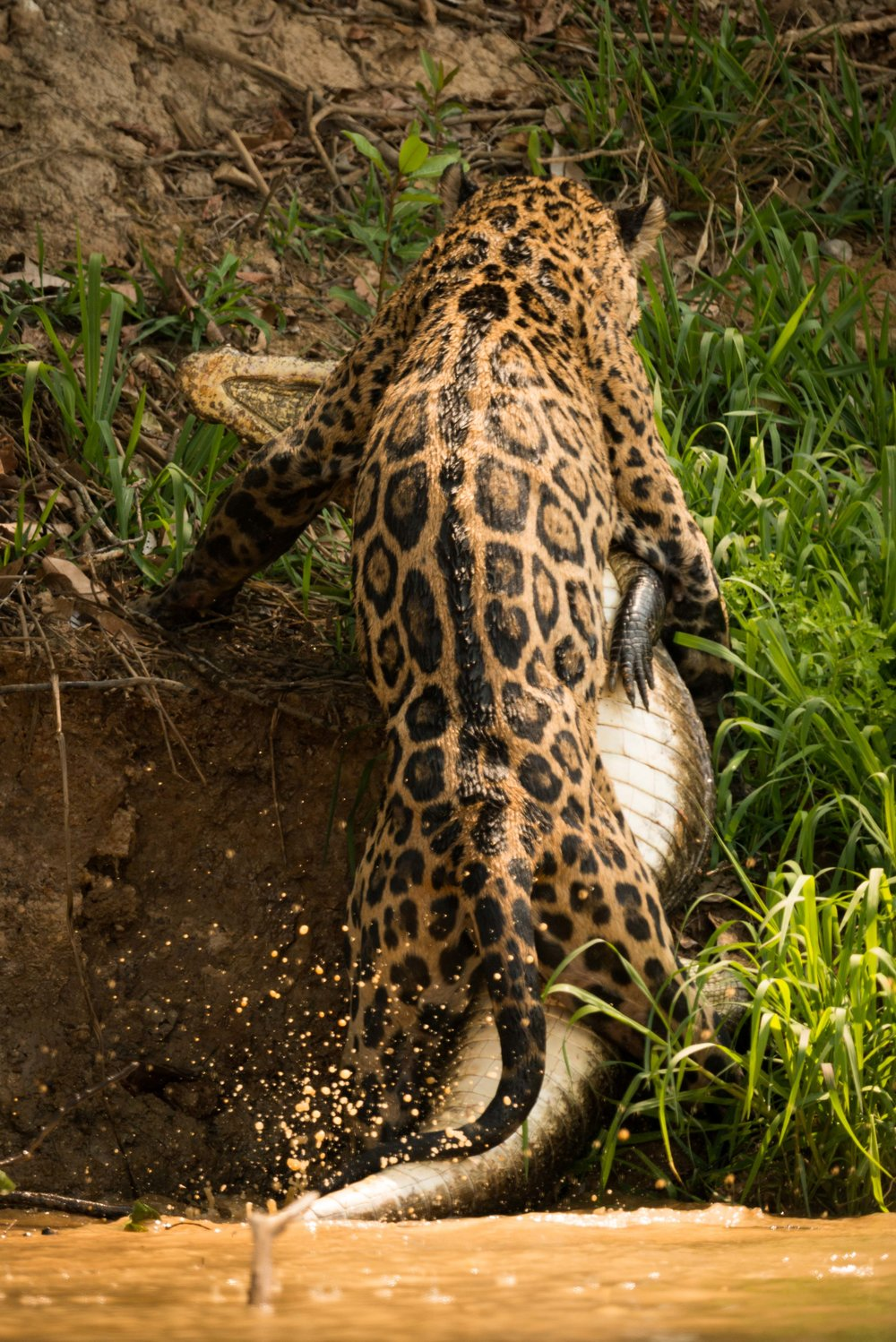 Jaguar dragging yacare caiman up river bank