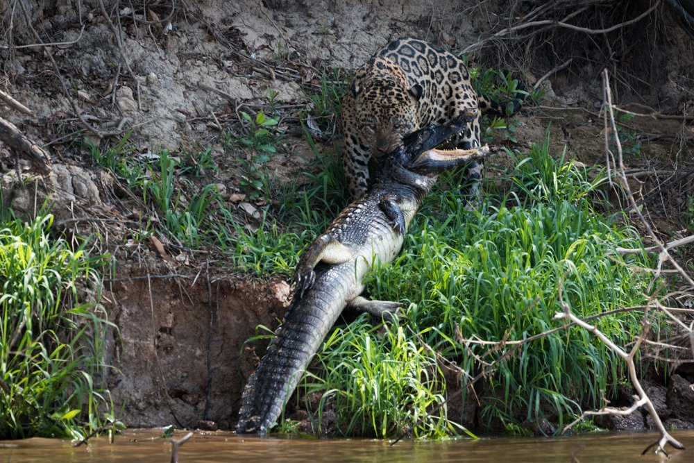 Jaguar hauling yacare caiman out of river