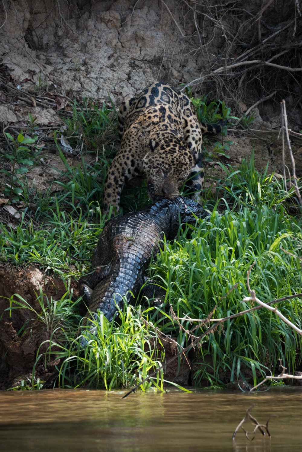 Jaguar hauling yacare caiman up river bank
