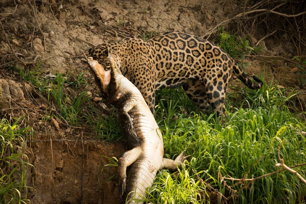 Jaguar pulling yacare caiman along river bank