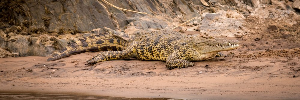 Nile crocodile on sandy riverbank beside rocks