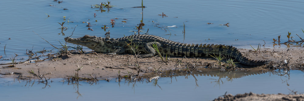 Panorama of Nile crocodile in muddy shallows