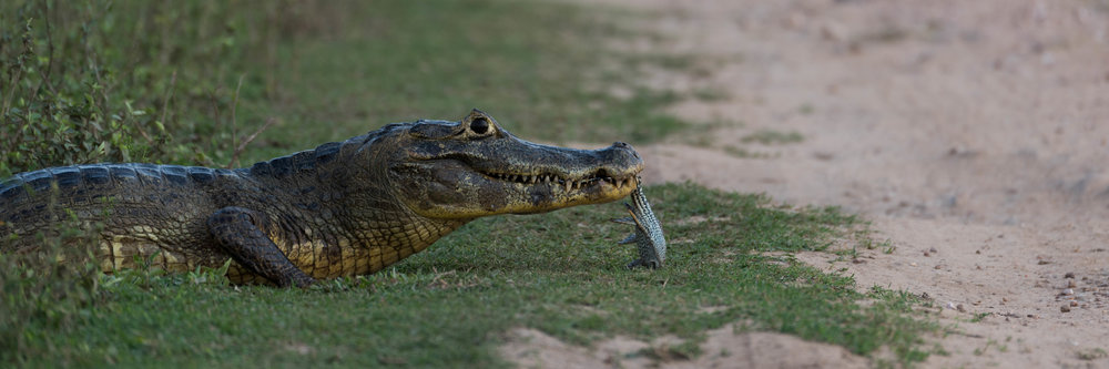 Panorama of yacare caiman holding dead fish