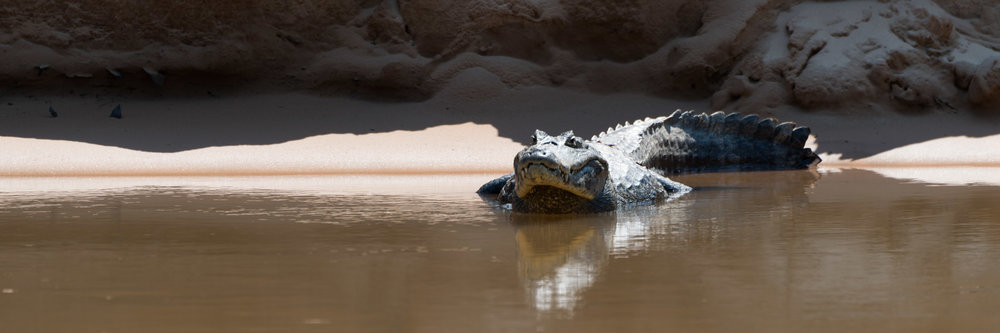 Panorama of yacare caiman in sunlit river
