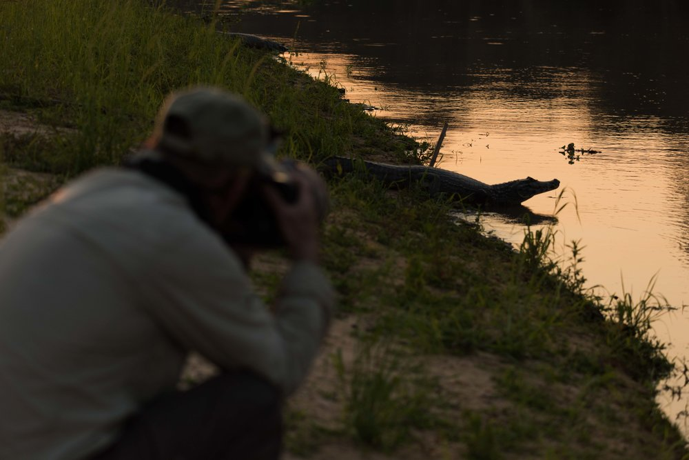 Photographer shooting yacare caiman on river bank