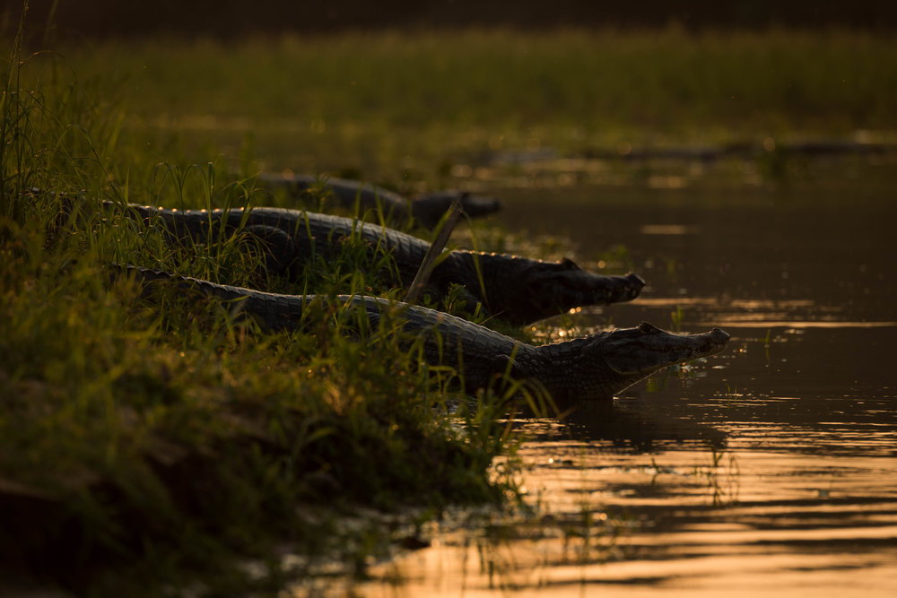 Three yacare caiman in shallows at sunset