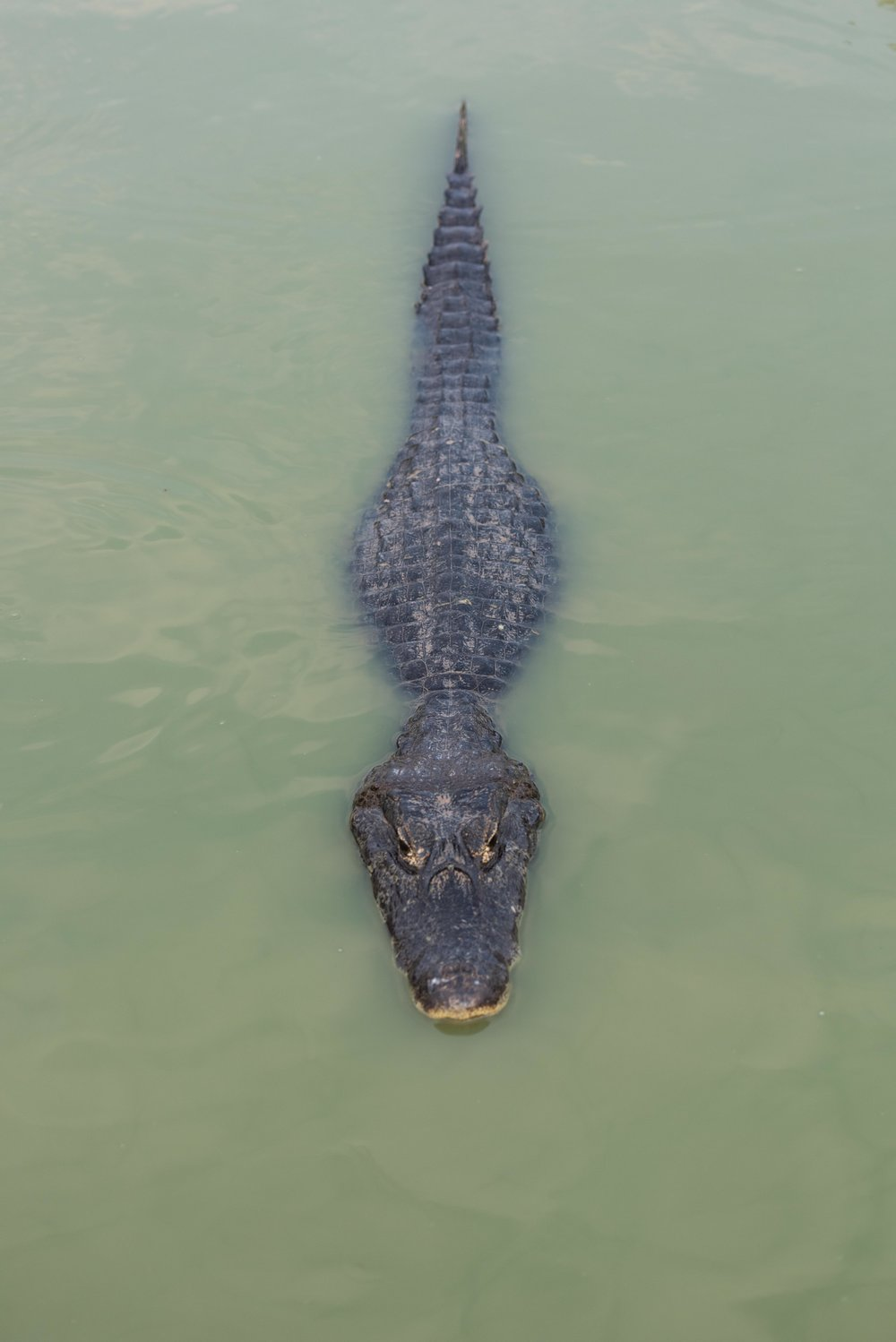Yacare caiman in green water from above
