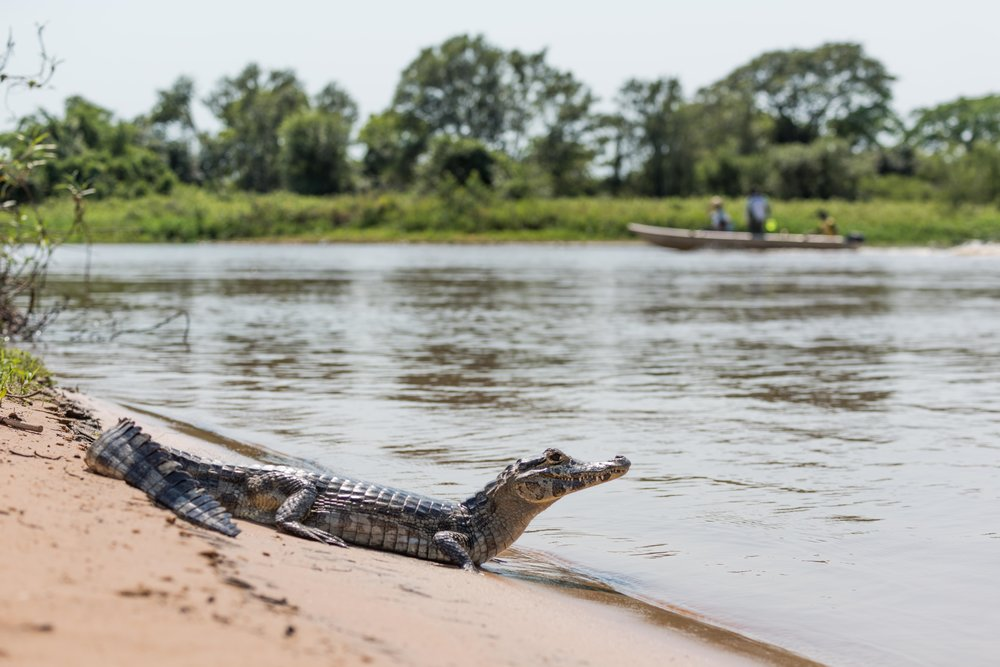 Yacare caiman on beach with passing boat