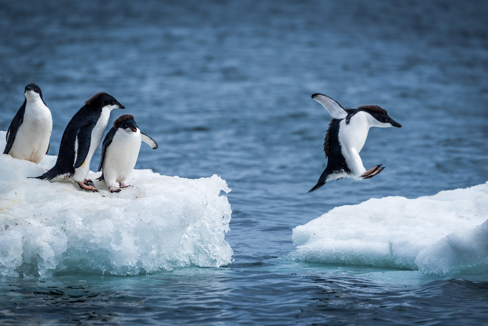 Adelie penguin jumping between two ice floes