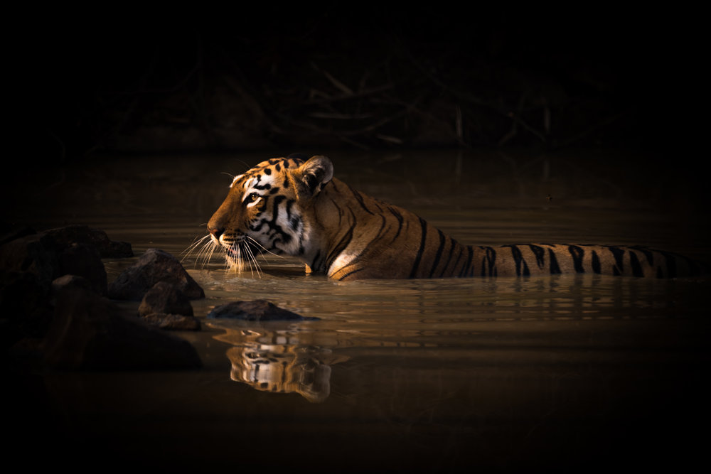 Bengal tiger with catchlight in water hole