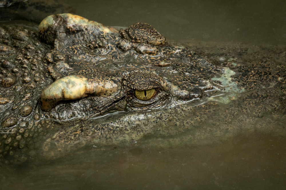 Close-up of crocodile head in muddy water