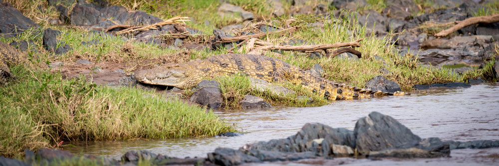 Panorama of Nile crocodile on river bank