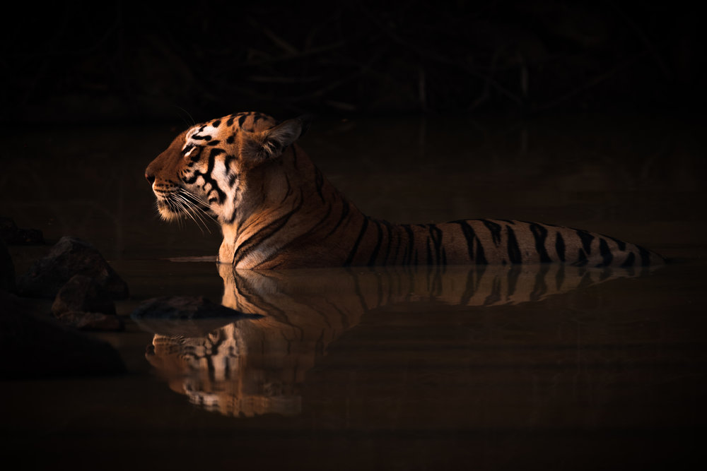 Bengal Tiger Lying in Shadowy Water Hole