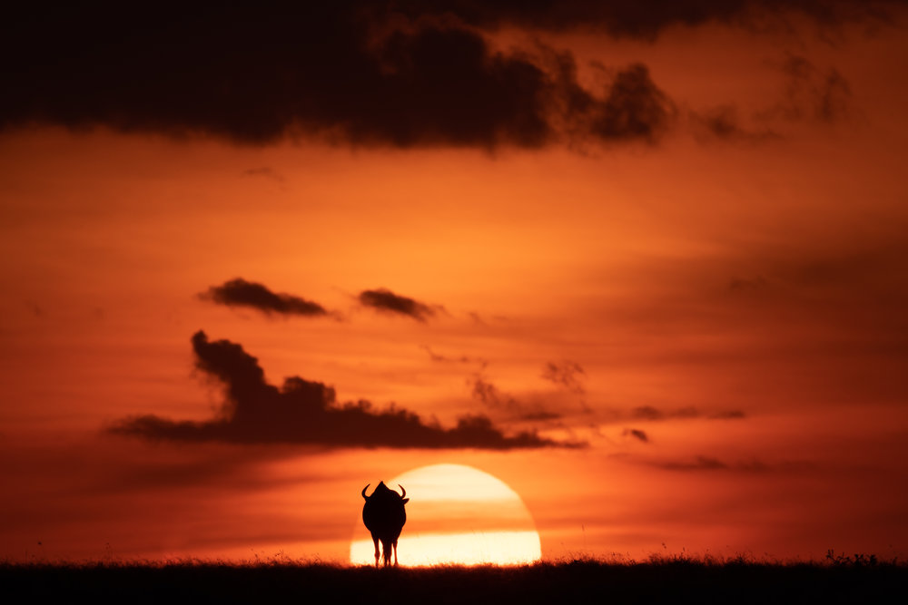 Blue wildebeest silhouetted against sun on horizon