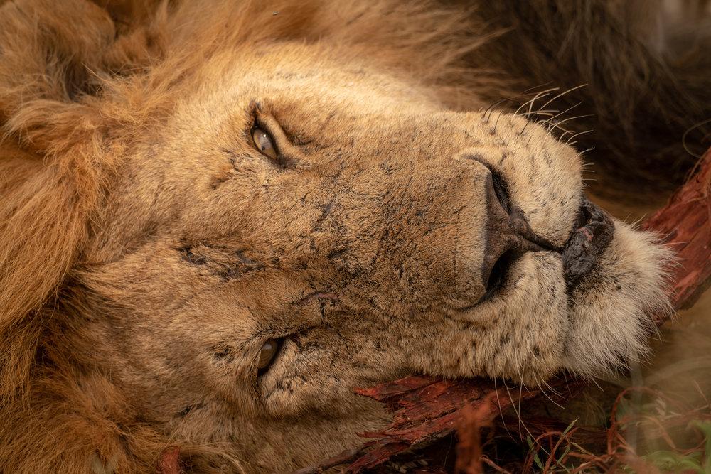 Simba, aka a male lion