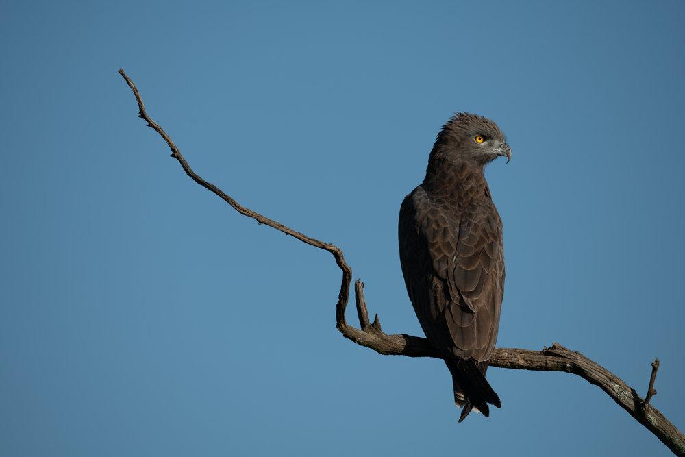 Brown snake-eagle: look at those eyes!
