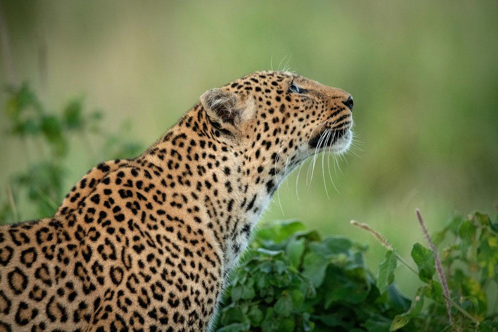 How a leopard got its spots…