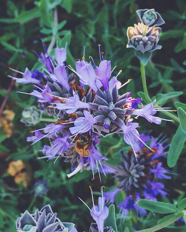 Bees are so cute then they are doing their thing! #onephotoadayinmay  #vsco #vscocam #vscogood #vscogrid #bees #flower #bayarea #purple #honey #endangered #weneedbees #nature #garden #frolicwithme