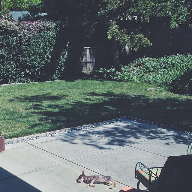 Vitamin D. #onephotoadayinmay  #vsco #vscocam #vscogood #vscogrid #dog #puppy #dogsofinstagram #lazydog #lazy #sunbathing #frolicwithsarah #warm