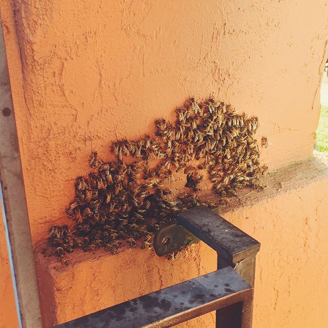 Friendly honeybees. 🐝 #onephotoadayinmay  #frolicwithme #beautiful #vsco #vscocam #vscogood #honeybee #bees #honey #friendly #swarm #hive #sweet #frolic #buzz
