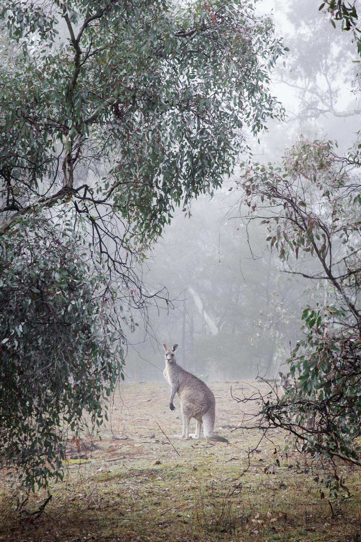 Canberra Lean Timms Kangaroos4.jpg