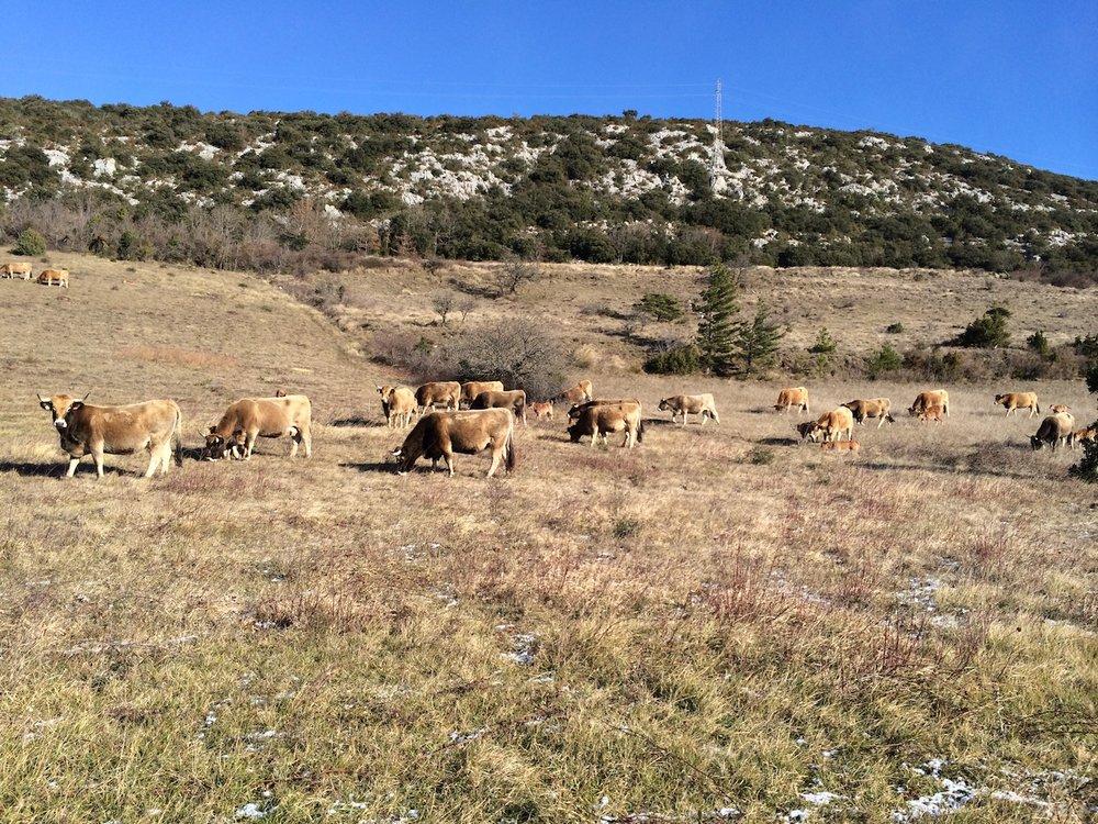 Fosse Cows.jpg