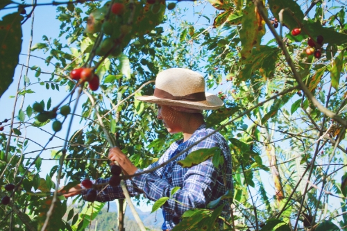 Maria Jose helping pick at Chamaco, Tematica