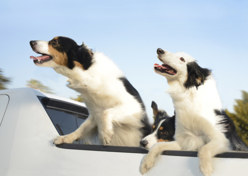 DogsinCars10for website.jpg