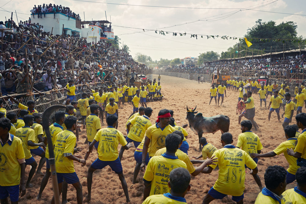 Jallikattu 'Flight or Fight'