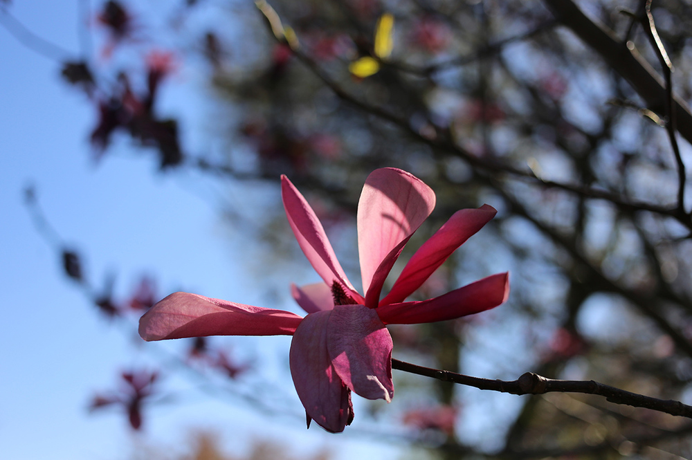 magnolia at the brooklyn botanic garden