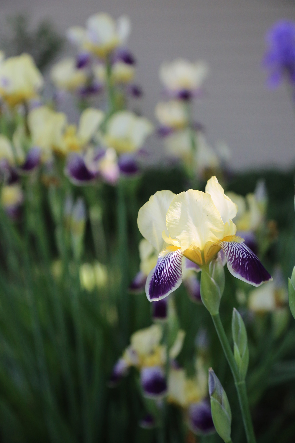my friend has the loveliest bunch of irises growing in her backyard.
