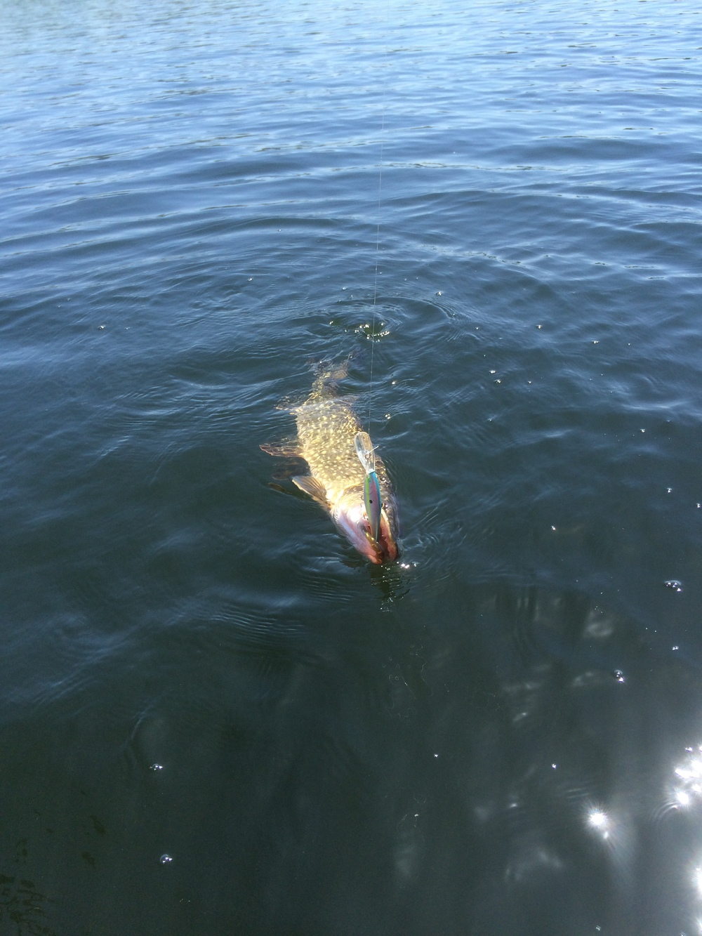 A small northern that fell to a large sized Flicker Shad