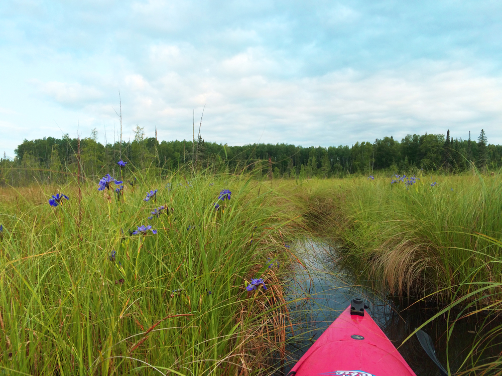 Navigating a bog with channels made and kept open by beavers for use in winter to swim between lakes.