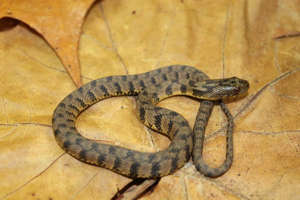 Juvenile diamondback water snake.