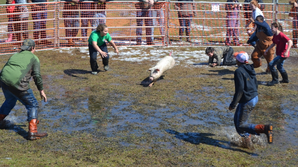 Even kids get in on the fun with a pig-catching competition.