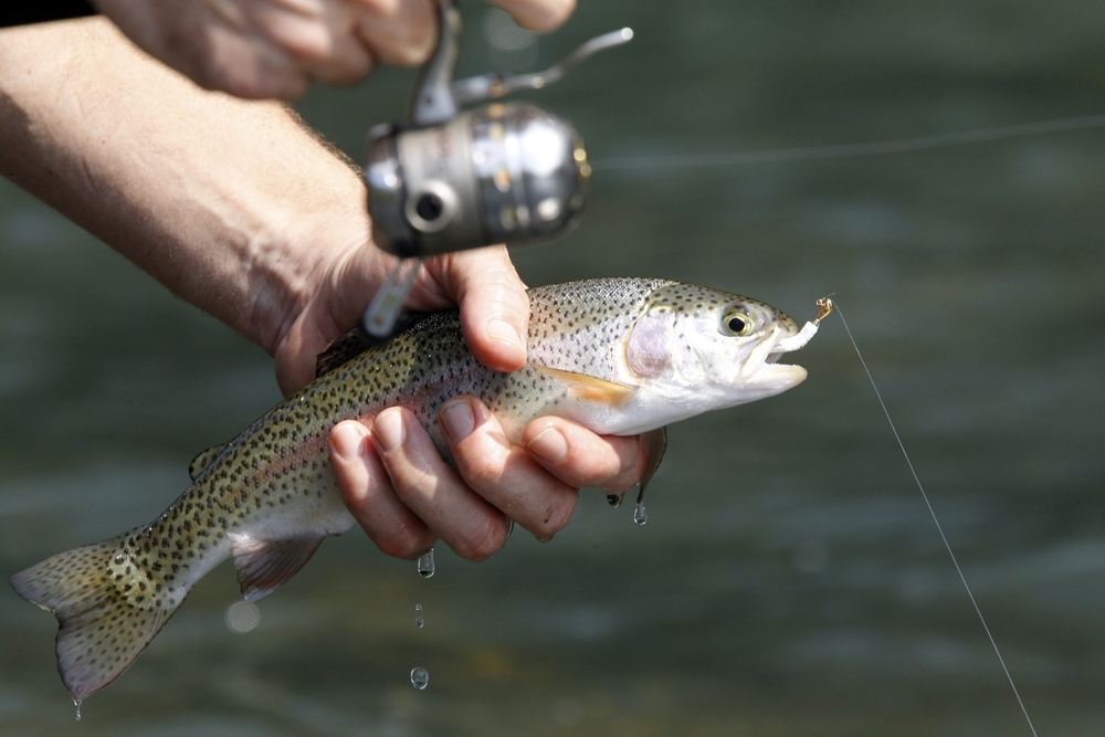 Rainbow trout are among the species in the Little Red River.