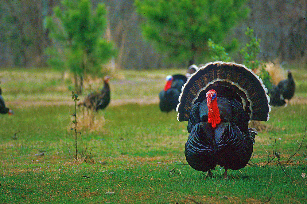 Arkansas gobblers are some of the craftiest prey around.