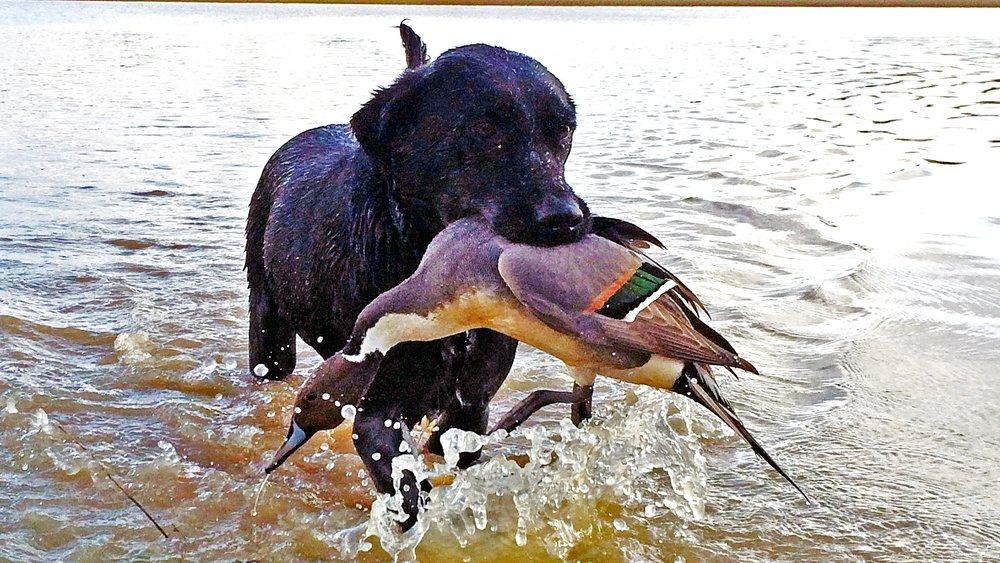 Retrieving birds is easy for Coco…when the dog decides to behave.