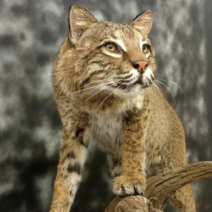 "Advanced Taxidermy works on ""anything with fur."""