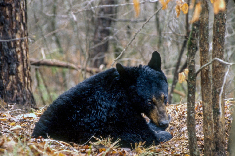 Black bear populations in the arkansas Ozarks are at their healthiest levels in decades, resulting in more frequent sightings .