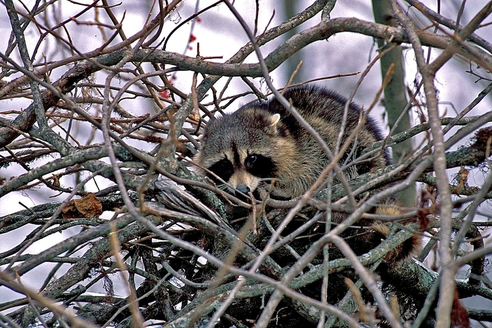 raccoons are generally nocturnal, but can sometimes be spotted by sharp-eyed paddlers.