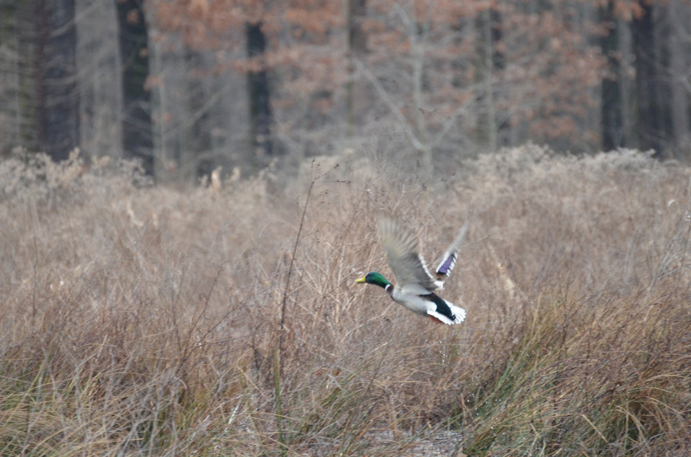 A male mallard, commonly seen in Arkansas, comes in for a landing.