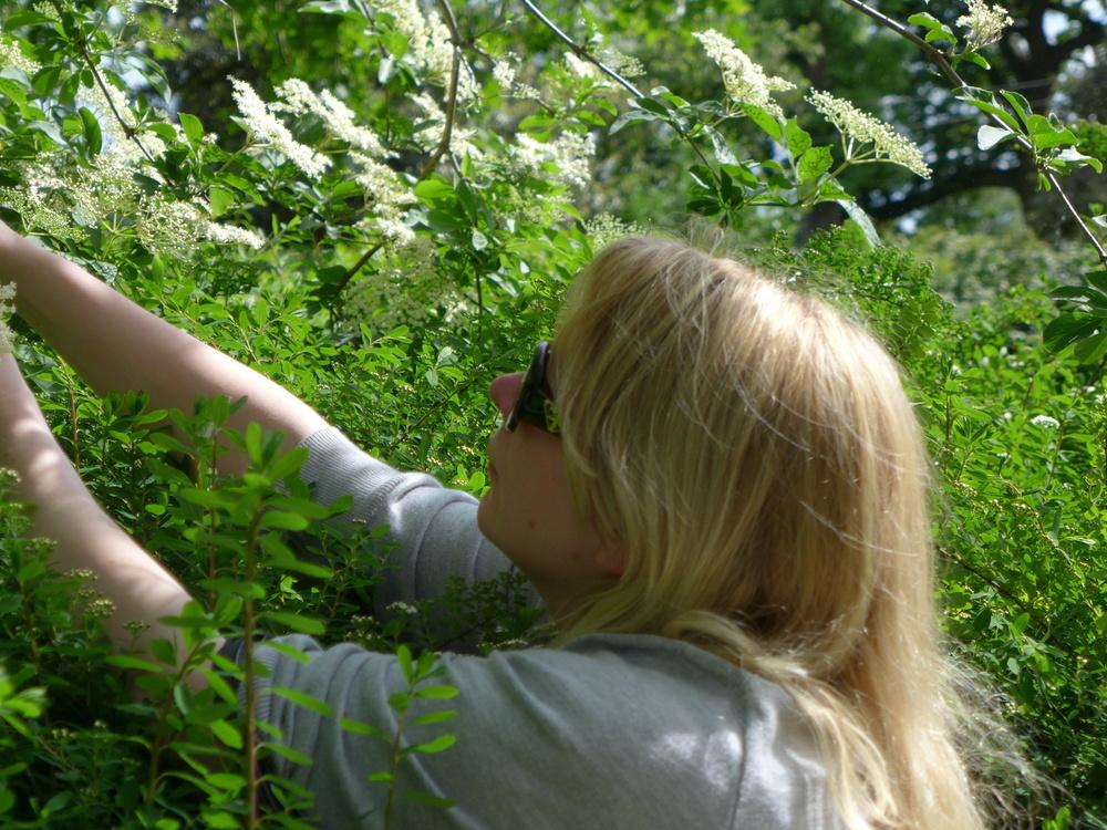gatherine elderflowers