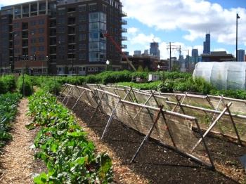 New_crops-Chicago_urban_farm.jpg