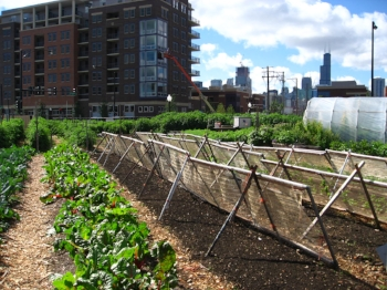 New_crops-Chicago_urban_farm.jpg