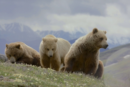 grizzly bears Denali.jpg