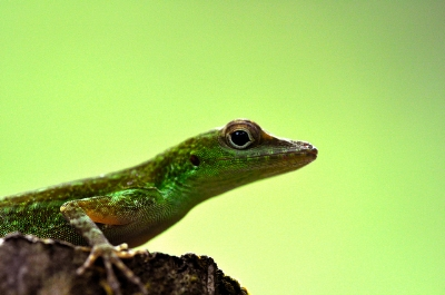 The emerald anole, one of the main insect eaters in the Luquillo forest of Puerto Rico.